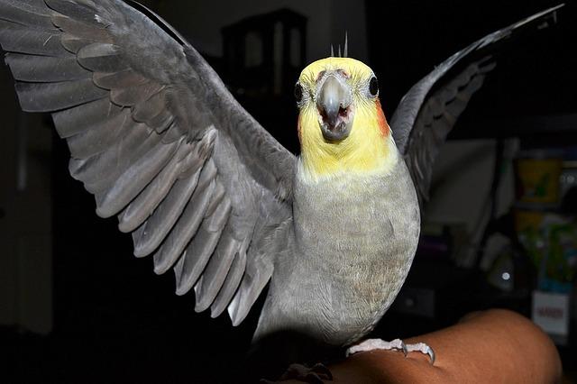 healthy-cockatiels
