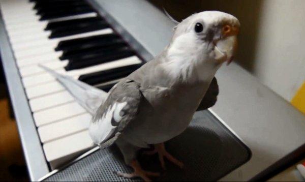 singing-cockatiel