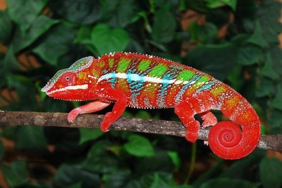 chameleon-changing-color