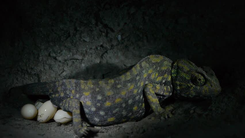 chameleon-laying-eggs