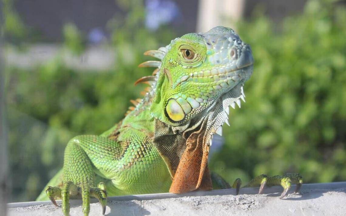 cute-iguana