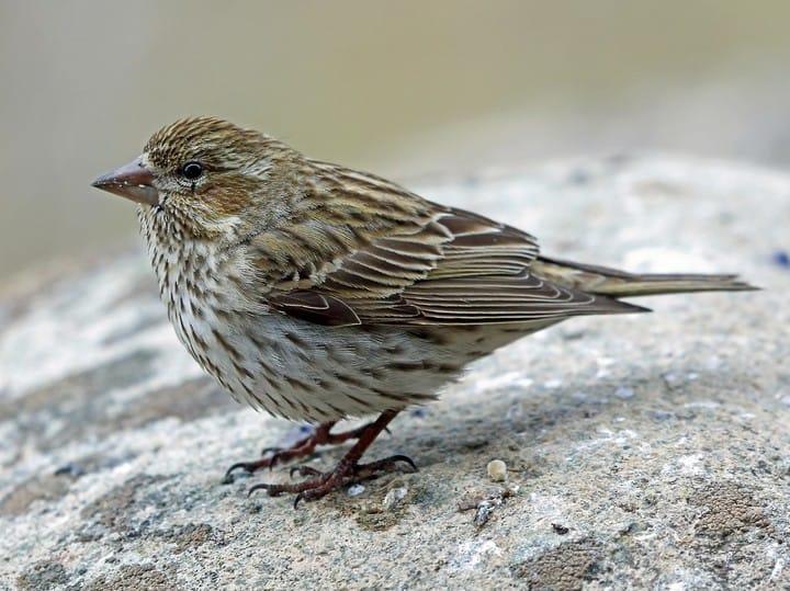 female-finch-bird