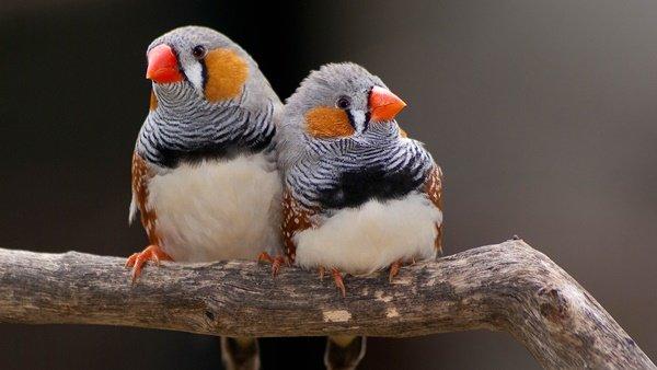 finch-bird-as-pet