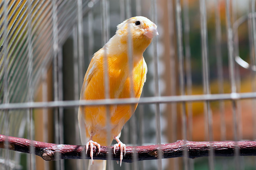 finch-bird-in-cage