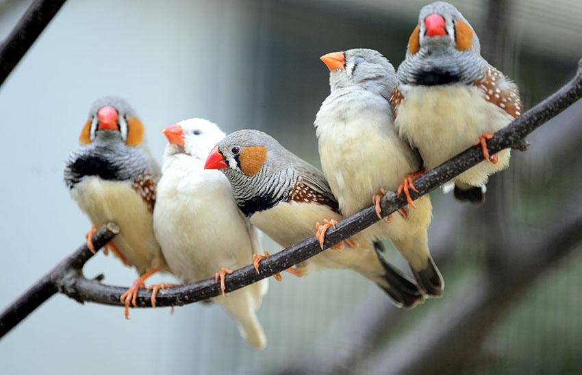 finch-bird