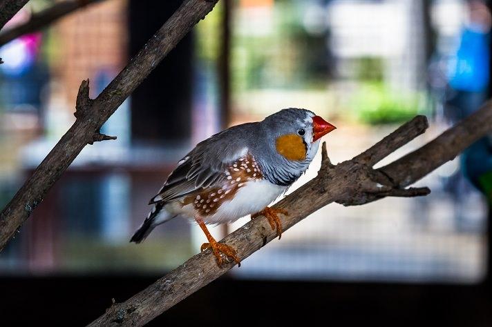 finches pet bird