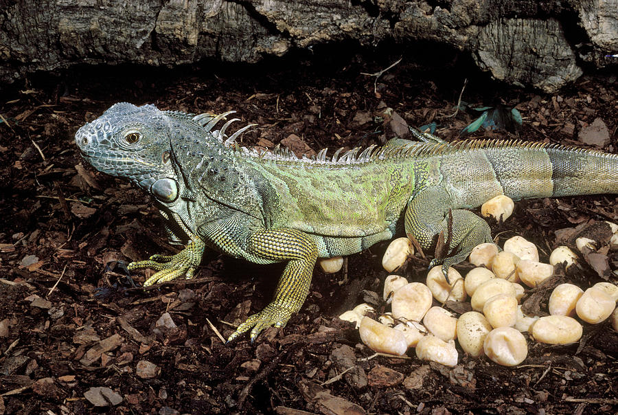 iguana-and-eggs