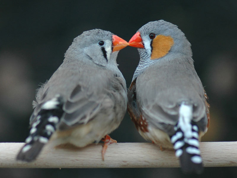 male-and-female-finch