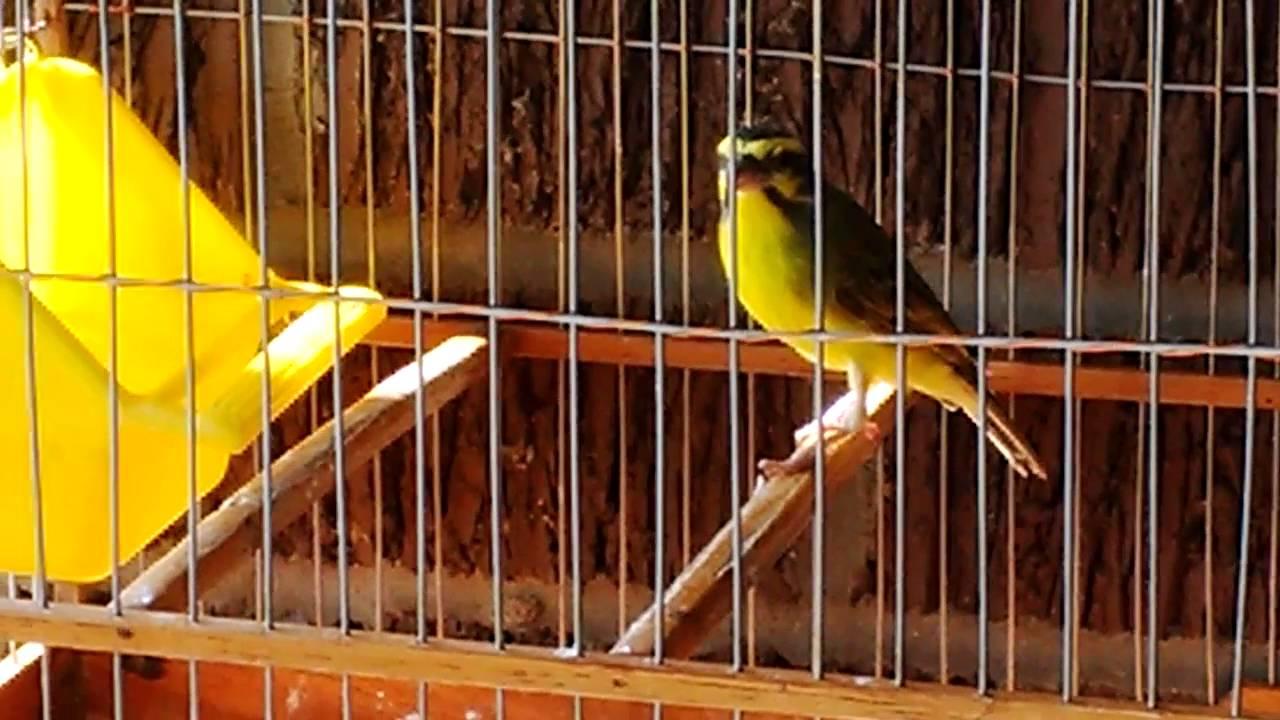 singing-finch-bird