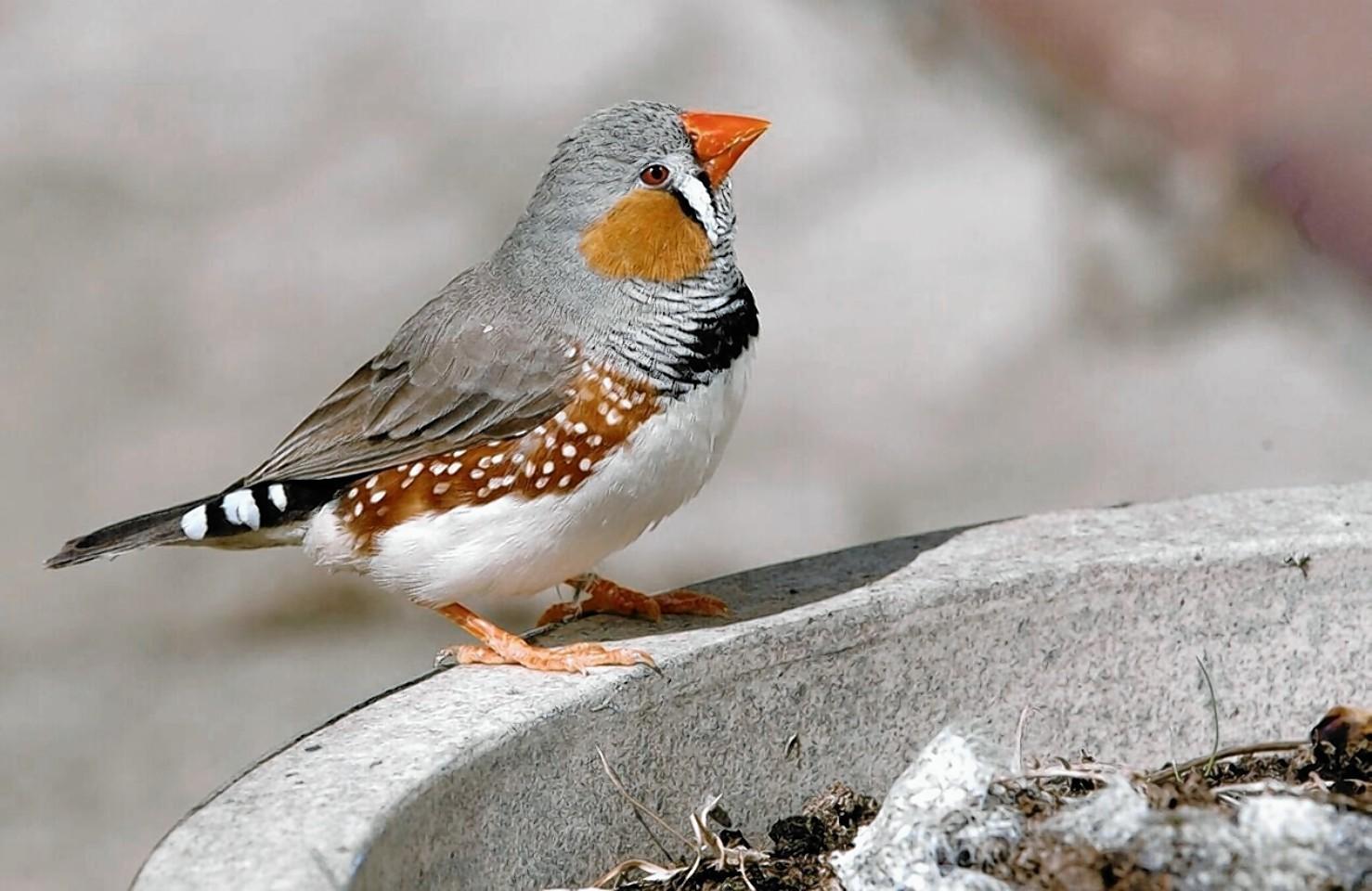 stressed finch bird