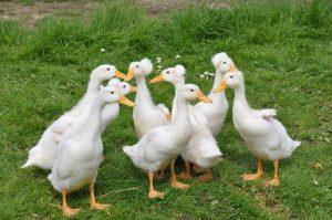 duck-farming