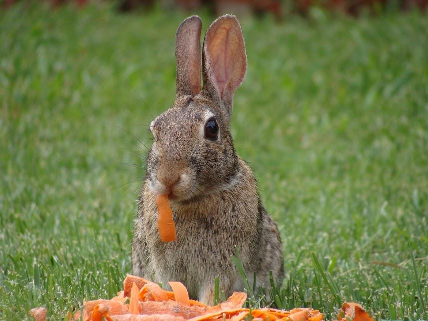 rabbit-couldnt-eat