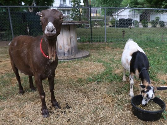 How to Effectively Raising Goats in Your Backyard - Animal ...