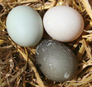 duck-eggs-production