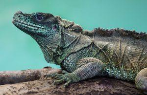 Amboina Sail-Finned Lizard