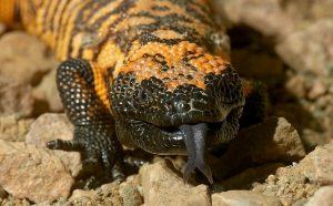 Gila Monster Lizard