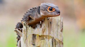 Red-eye Crocidiel Skink